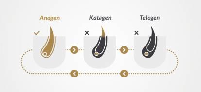 Grafika przedstawiająca cykl rozwoju włosa i jego trzy fazy: anagen, katagen i telogen.